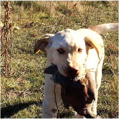 Labrador retrieving chukar