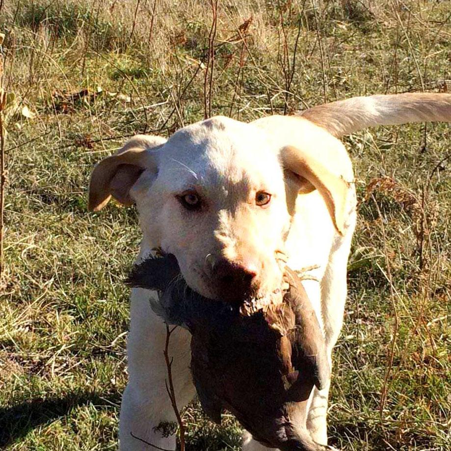 pheasant chukar hunting-yellowstone-river-montana-2